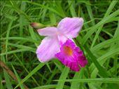 Arundina graminifolia: by whitneyj, Views[420]