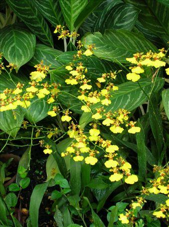 Oncidium goldiana (Golden shower)