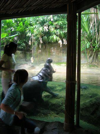 Pygmy Hippo yawns
