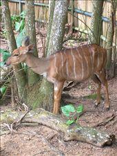 Nyala (South African antelope): by whitneyj, Views[796]