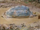Giant Tortoise getting a spa treatment (mud bath): by whitneyj, Views[471]