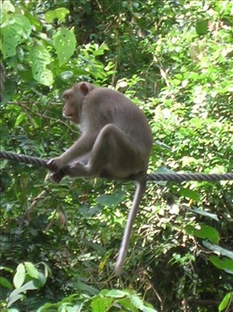 Macaque patiently waiting for his chance at a banana.