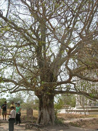 Magic tree.  A loudspeaker hanging from its branches was used to drown out the moans of victims while they were being executed.