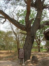 Killing tree.  Children were executed by beating them against this tree or by throwing them in the air to land on bayonets.: by whitneyj, Views[352]