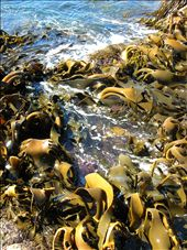 The kelp forest at Sleepy Bay is a divers playground, but watch out for the rough seas.: by whitneyj, Views[278]