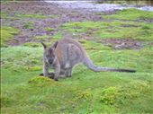 Wallaby enjoying some buttongrass near Lodge Lake.: by whitneyj, Views[274]