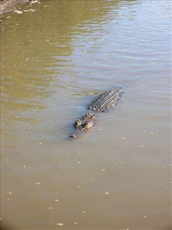 Female Estuarine crocodile.