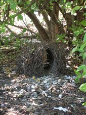The Bower bird builds its intricate nest on the ground to attract suitors.: by whitneyj, Views[2354]