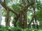 Ficus elstica (Indian rubber tree).: by whitneyj, Views[1525]