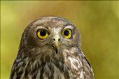 Barking owl taken at Caversham wildlife park Perth Western Australia: by wildlifecrazy, Views[1233]
