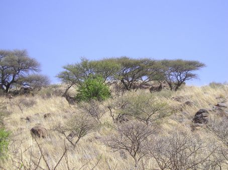 If you look closely at this picture you should be able to see two Kudu antelope in it.