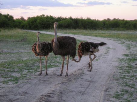 A family of Ostrichs cross the road. Hawange.