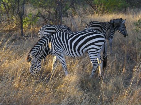 Hawange, Zebras in the morning light.