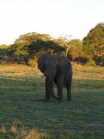 A big old Bull with a broken tusk, Hawange.