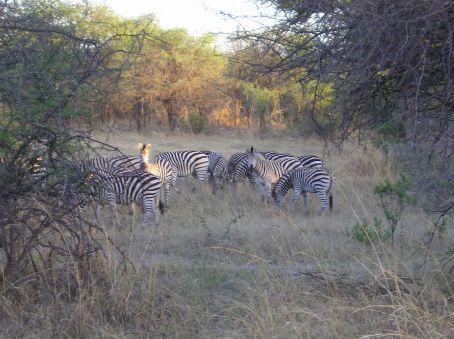 Zebra, Hawange.