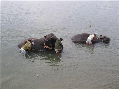 Bath time for the Elephants, Chitwan National Park.