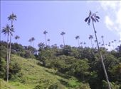 Wax Palms, the national plant of Colombia. Near Salento. : by willlou, Views[465]