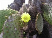 Cactus in bloom.: by willlou, Views[452]