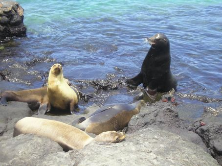 A male Sea Lion defends his territory on Plaza Sur.