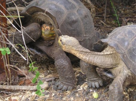 Galapagos Tortoises have a falling out.