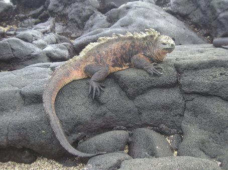 A large Marine Iguana on a Lava flow.