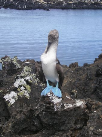 A blue footed Boobie. These birds are called Boobies because they are so tame and sailors found them very easy to hit over the head.