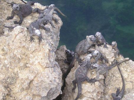 Marine Iguanas taking in rays.