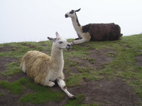 Llamas at Machu Picchu have a rest before starting their days work, cutting the grass.