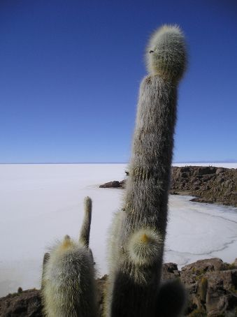 Cacti that live on an island of rock in the middle of the Salar.