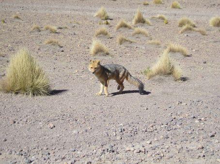 An Andean Fox.
