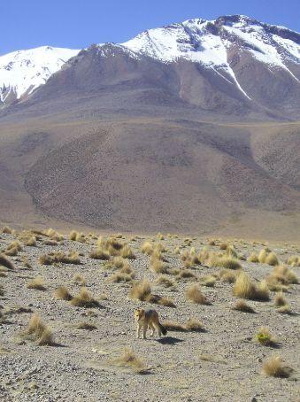 An Andean Fox in his enviourment.