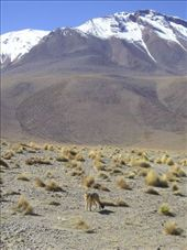 An Andean Fox in his enviourment. : by willlou, Views[408]