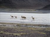 Vicunas, the white stuff is not salt but borax. : by willlou, Views[461]