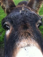 Eeyore. There was a flock of donkeys, I like donkeys. Smelled really bad.: by wilski, Views[422]