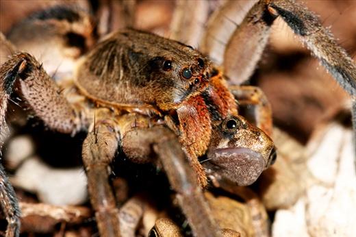 Predation on newly metamorphosed toad Rhinella ornata by the spider Lycosa erythrognatha