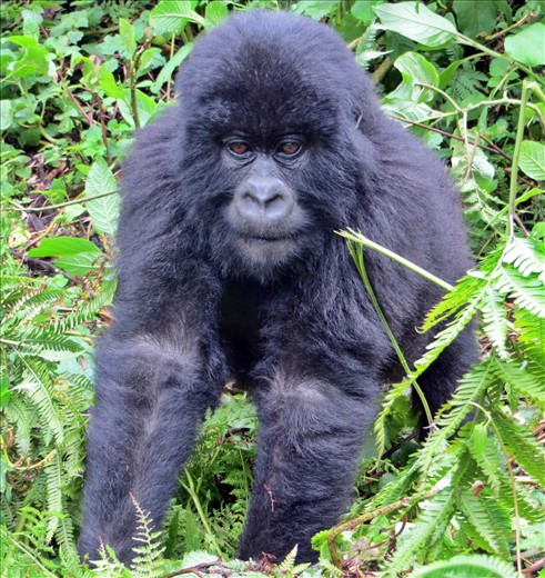 My first close encounter was with an 8 month old gorilla.