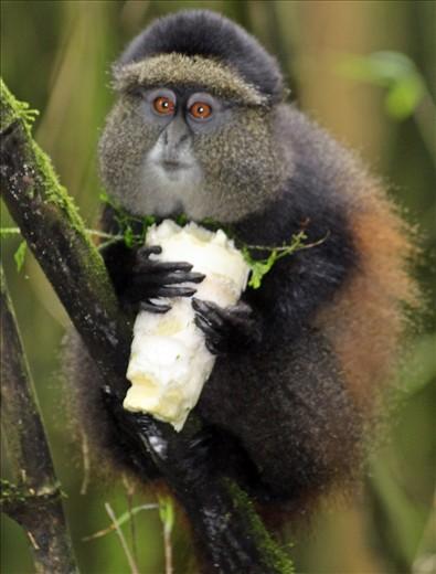 Golden Monkey in Volcanoes National Park