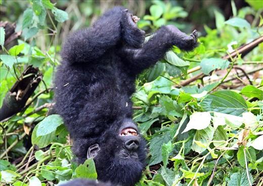 Baby gorilla playing.