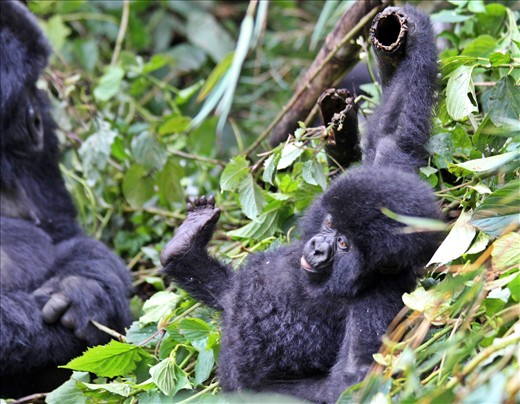 Baby gorilla hanging out.