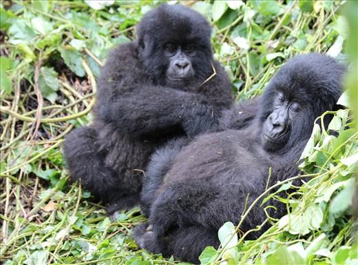 Agashya juveniles grooming.