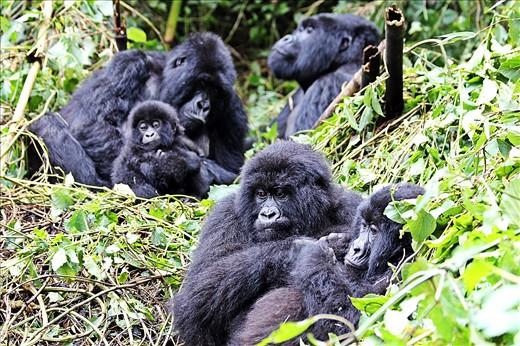 Agashya Group of Gorillas in Volcanoes National Park.