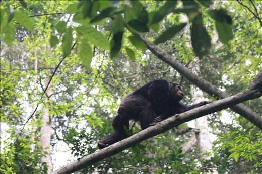 Chimp moving across the fallen tree.