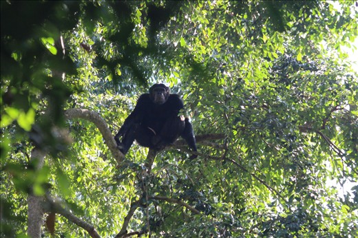 Chimp in the fig tree