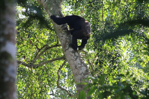 Chimp climbing down the trunk.