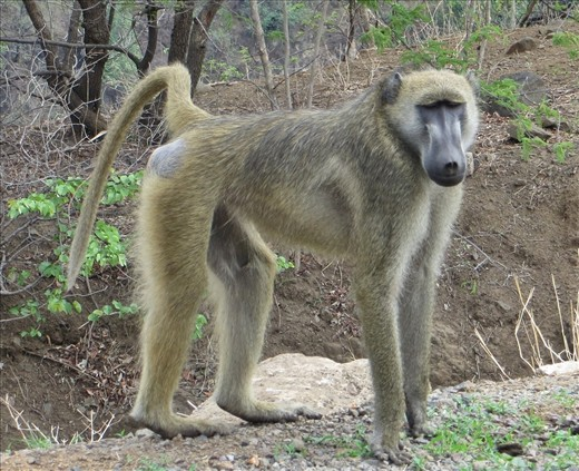 Baboons near the border can be aggressive if you have food.