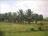 Palm tree farm on the way to Tela: by zinzin, Views[540]