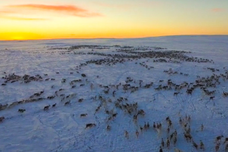 Finnmark photographer Jan Helmer Olsen took to the skies to capture this incredible aerial footage of reindeer migration Dec., 2015. According to Olsen, reindeer migration starts in the fall, with some herds beginning the migration in September and others in October or November. The move to the reindeer's winter location takes a total of one to two weeks. (Courtesy Jan Helmer Olsen)