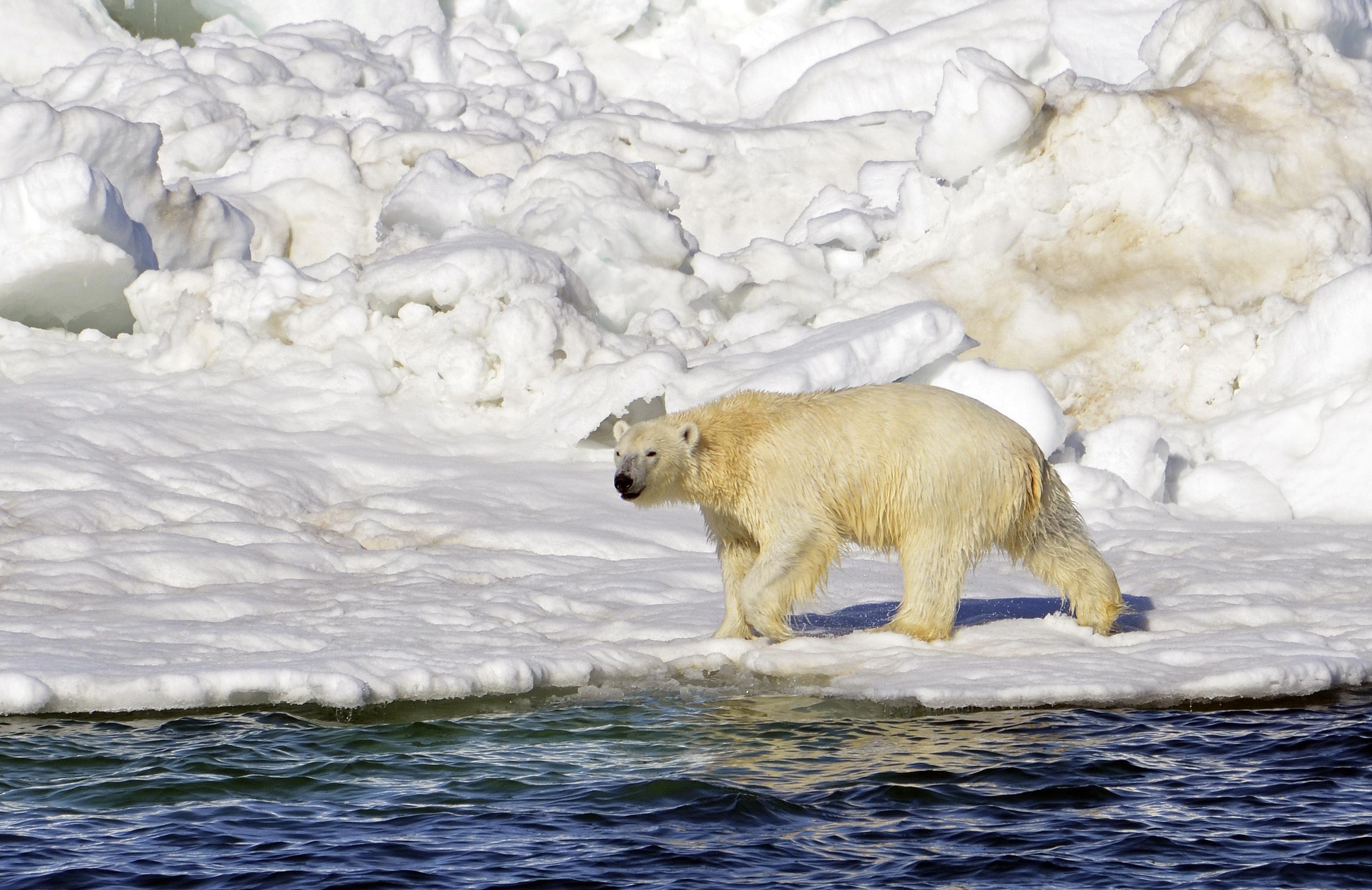 A polar bear walks along the edge of Arctic Ocean sea ice in Alaska's Chukchi Sea in 2014. (Brian Battaile / USGS)