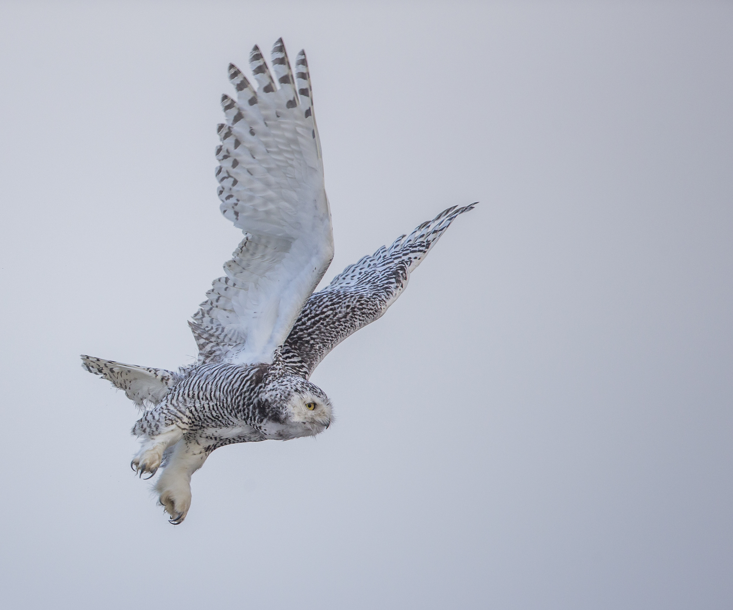 A snowy owl flies. 2016 Mountaineers Books, Braided River Imprint (Paul Bannick) ONE TIME RIGHTS