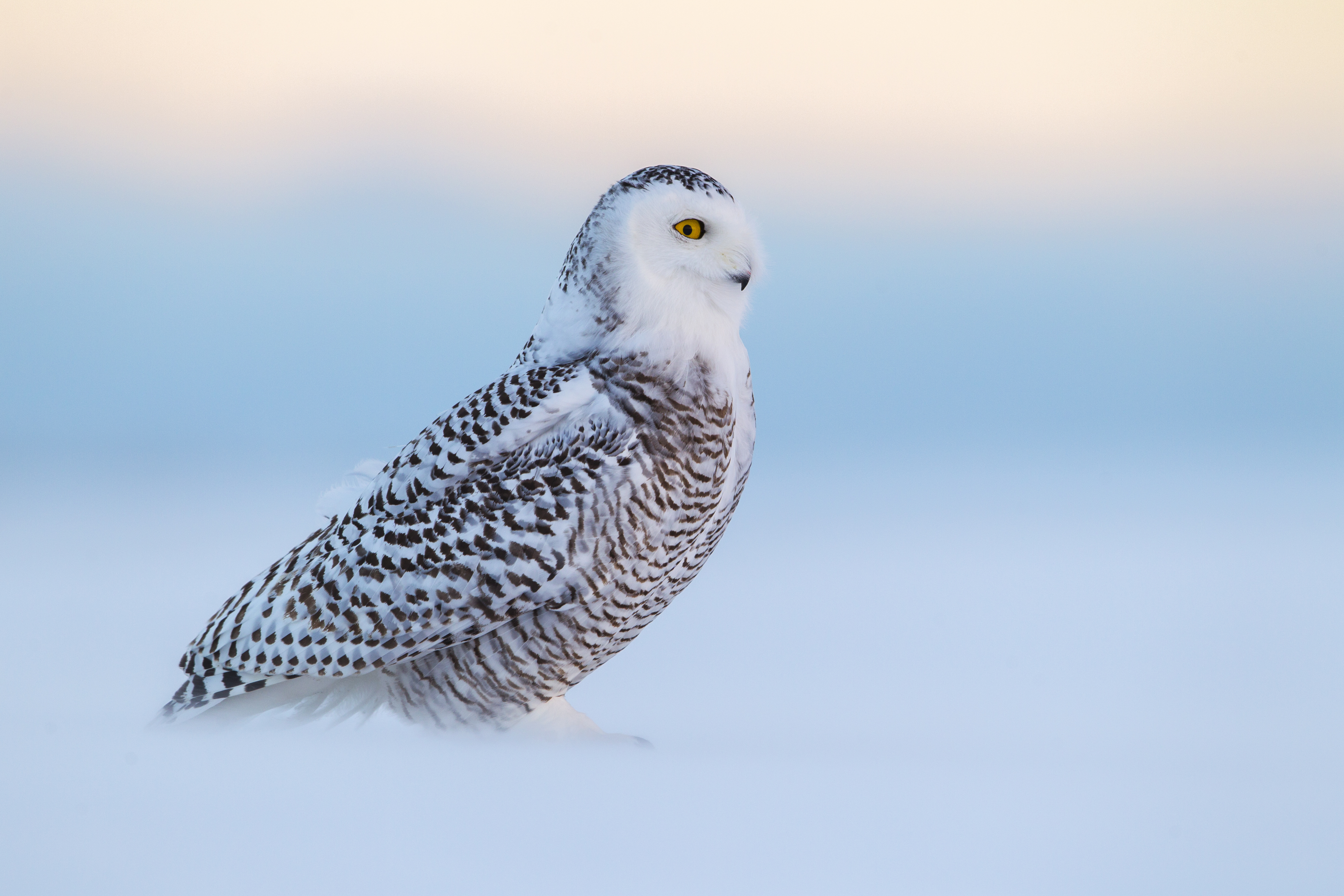 In blowing snow, a snowy owl carefully scans the horizon for competing owls. 2016 Mountaineers Books, Braided River Imprint (Paul Bannick) ONE TIME RIGHTS